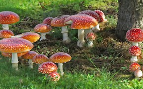 Picture nature, mushrooms, Amanita