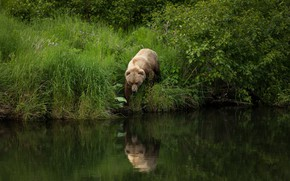 Wallpaper summer, grass, nature, pose, reflection, river, shore, foliage, bear, walk, the bushes, pond, brown, angler, ...