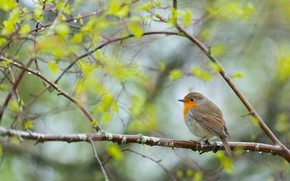 Picture greens, branches, background, tree, bird, spring, leaves, bird, bokeh, blurred background, Robin, grey with orange …