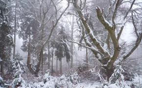 Picture winter, forest, snow, trees, branches, nature, fog, trunks, winter, haze, snowfall, shrubs, snowy