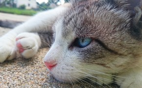 Picture cat, blue eyes, animal, paws, fur, sly, whiskers, feline, snout, sneaky, siamese