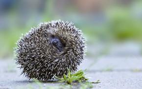 Picture needles, hedgehog