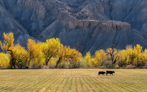 Picture field, autumn, trees, mountains, nature, strip, rocks, two, cow, yellow, cows, pasture, pair, relief, Golden …