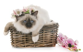 Picture look, kitty, muzzle, basket, Burmese