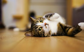Picture cat, eyes, cat, look, pose, room, relax, legs, flooring, muzzle, floor, lies, grey, striped, expressive, …