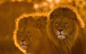 Picture look, face, Leo, pair, mane, the king of beasts, lions, wild cat
