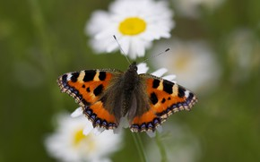 Picture macro, flowers, background, butterfly, chamomile, insect, urticaria