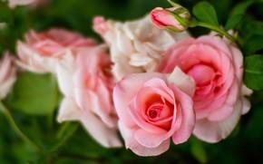 Picture roses, blur, branch, garden, Bud, pink, bokeh, rose Bush, salmon