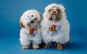 Picture dogs, sheep, dog, Christmas, costume, New year, sheep, a couple, lapdog, blue background, French bulldog, …