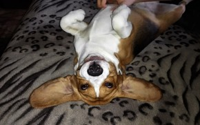 Picture smile, Dogs, Beagle