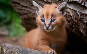 Wallpaper cat, look, pose, background, tree, portrait, baby, bark, kitty, lynx, face, cub, wild cat, Caracal, ...