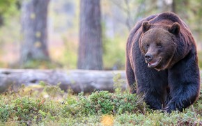Picture forest, look, face, pose, bear, walk, log