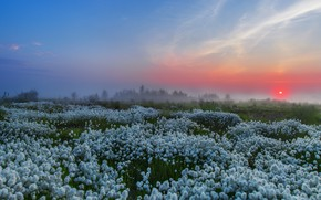 Picture the sky, sunset, flowers, fog, cottongrass