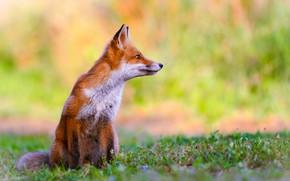 Picture nature, animal, Fox, profile, Fox