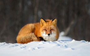 Picture winter, snow, nature, pose, animal, Fox, Fox