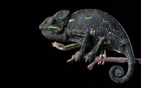 Picture chameleon, grey, black background