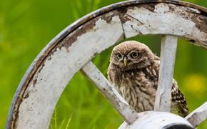 Picture owl, bird, wheel, owl