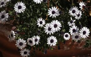 Picture flowers, garden, flowerbed, pot, osteospermum