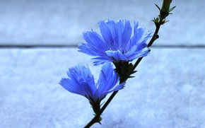 Picture flower, background, Wallpaper, stem, flower, blue color, blue color, two flowers, chicory