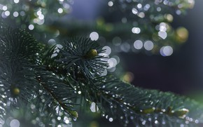 Picture water, drops, macro, spruce, branch, tree, needles, bokeh, Dave B