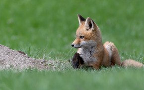 Picture grass, look, pose, glade, spring, baby, Fox, lies, profile, face, lawn, green background, Fox, Fox