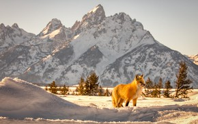 Picture animal, Fox, mountains, nature, winter, Grand Teton, national Park, Grand Tetons, snow, Fox, Wyoming, landscape, …