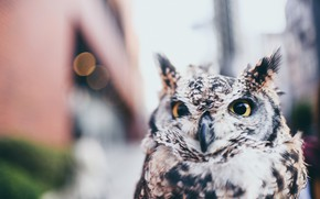 Picture owl, street, blurred background