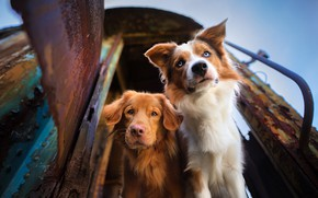 Picture look, muzzle, two dogs, The border collie, Nova Scotia duck tolling Retriever