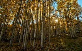 Picture autumn, birch, grove