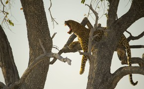 Picture branches, tree, silhouette, mouth, leopard, fangs, lies, light background, Zev