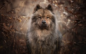 Picture look, face, branches, portrait, dog, The eurasier