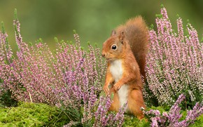 Picture flowers, background, protein, stand, Heather, squirrel