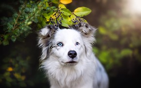 Picture summer, look, face, leaves, nature, berries, background, portrait, dog, branch, white, blue eyes, bokeh, the …