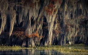 Picture autumn, trees, nature, bird, vegetation, swamp, USA, cypress, Alexander Perov