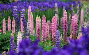 Picture summer, flowers, bright, pink, a lot, lilac, bokeh, lupins
