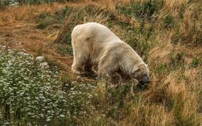 Picture white, grass, flowers, nature, bear, hill, bear, walk, polar bear, polar