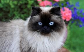 Picture cat, cat, look, face, flowers, nature, portrait, Siamese, color-point, ragdoll