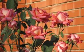 Wallpaper flowers, roses, Mamala ©, summer 2018