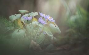 Picture macro, flowers, nature, spring, primroses
