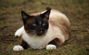 Picture earth, lies, Siamese cat