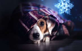 Picture look, dog, plaid, face, snowflake