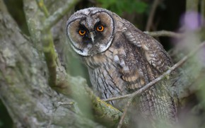 Picture look, branches, tree, owl, bird, Long-eared owl
