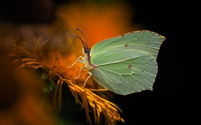 Wallpaper butterfly, the limonite, brimstones
