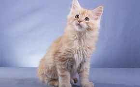 Picture cat, look, pose, kitty, red, muzzle, sitting, blue background, Maine Coon, Studio