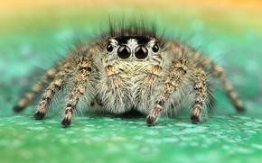 Picture eyes, macro, pose, green, background, legs, spider, hairy, jumper, jumper, spider, sakunik, the Hoppy, Bouncing, …