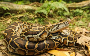 Picture nature, snake, Python
