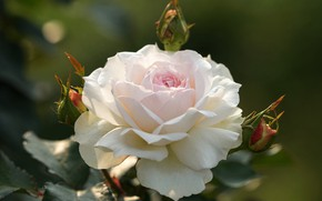 Picture rose, petals, white, buds