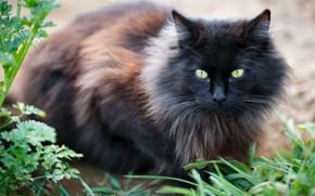 Picture cat, grass, cat, look, black