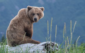 Picture grass, bear, log, sitting, The Bruins