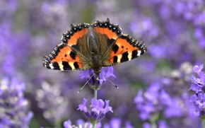 Picture macro, flowers, butterfly, blur, lavender, Urticaria